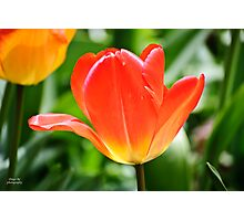 Full Bloomed Tulip Photographic Print