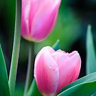 Hidden Tulips by Diego  Re