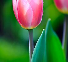 Morning Tulip by Diego  Re