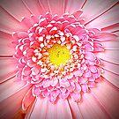 Pink Gerbera closeup by ©The Creative  Minds