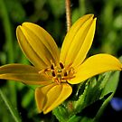 Texas Star - Wildflower by aprilann