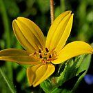 Texas Star - Wildflower by aprilann