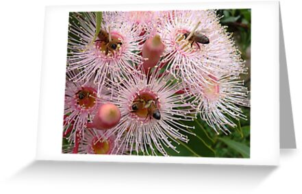 The pink gum is blooming - and the bees are busy! by Meg Hart