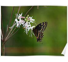 Black Swallowtail on Wild Azalia Poster
