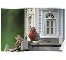 House Finch and song sparrow Enjoying Breakfast  Poster