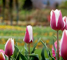 Pink and White Tulips by Gillian Cross