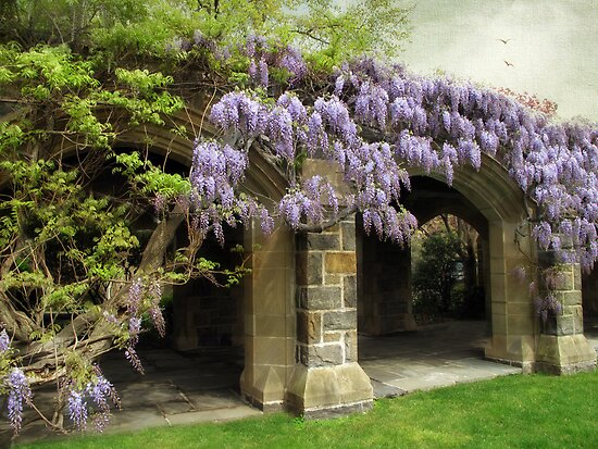 Beauty of Wisteria by Jessica Jenney