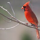 Another Male Cardinal by barnsis