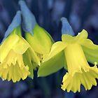 Daffodil by Soulmaytz