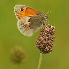 Small Heath butterfly by Stacey  Purkiss