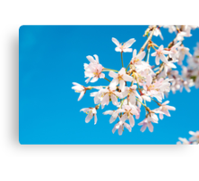 Blossoms with the blue sky Canvas Print