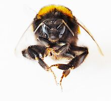 Bumble Bee by Graham Prentice