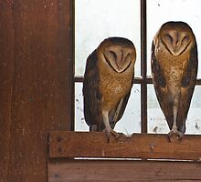 Barn Owls Asleep On The Job - NW Trek Conservancy by Vincent Frank