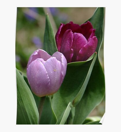 Pink and Fushia Tulips Poster