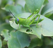 Grasshopper by Ali Choudhry