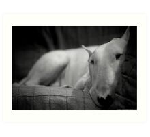 white english bull terrier Art Print