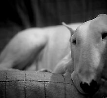 white english bull terrier by edozollo