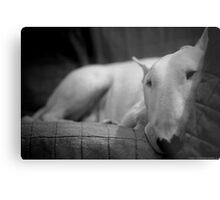 white english bull terrier Metal Print