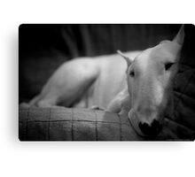 white english bull terrier Canvas Print