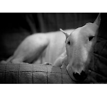 white english bull terrier Photographic Print