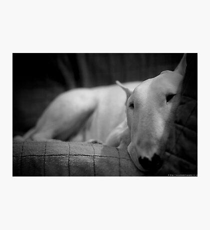 white english bull terrier Photographic Print