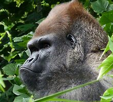 Gorilla Group Leader Relaxing by Margaret Saheed