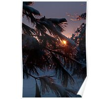 Frosted white pine Poster
