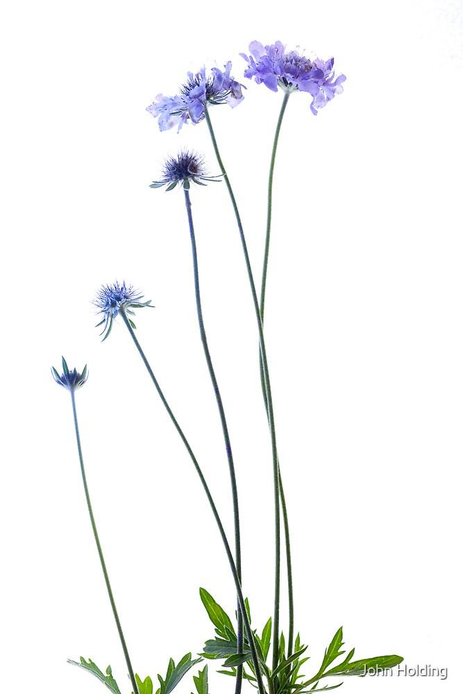 Pin Cushion Flower. by John Holding