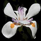 Spring Debut by heatherfriedman
