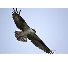Osprey hunting Photographic Print