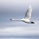 Swan flight by Grant Glendinning