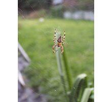 European garden spider Photographic Print