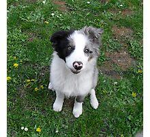 Border Collie Puppy Photographic Print