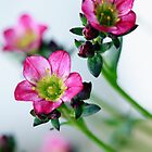 Pink Saxifraga by Anthony  Poynton