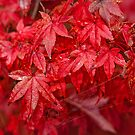 Autumn Red by smylie