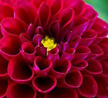 Flower - Dahlia by Anthony Radogna
