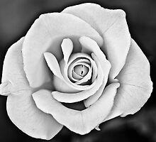 White Rose by Anthony Radogna
