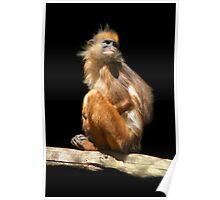Banded Leaf Monkey  Poster