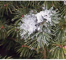 Pine,Snow and Ice Photographic Print