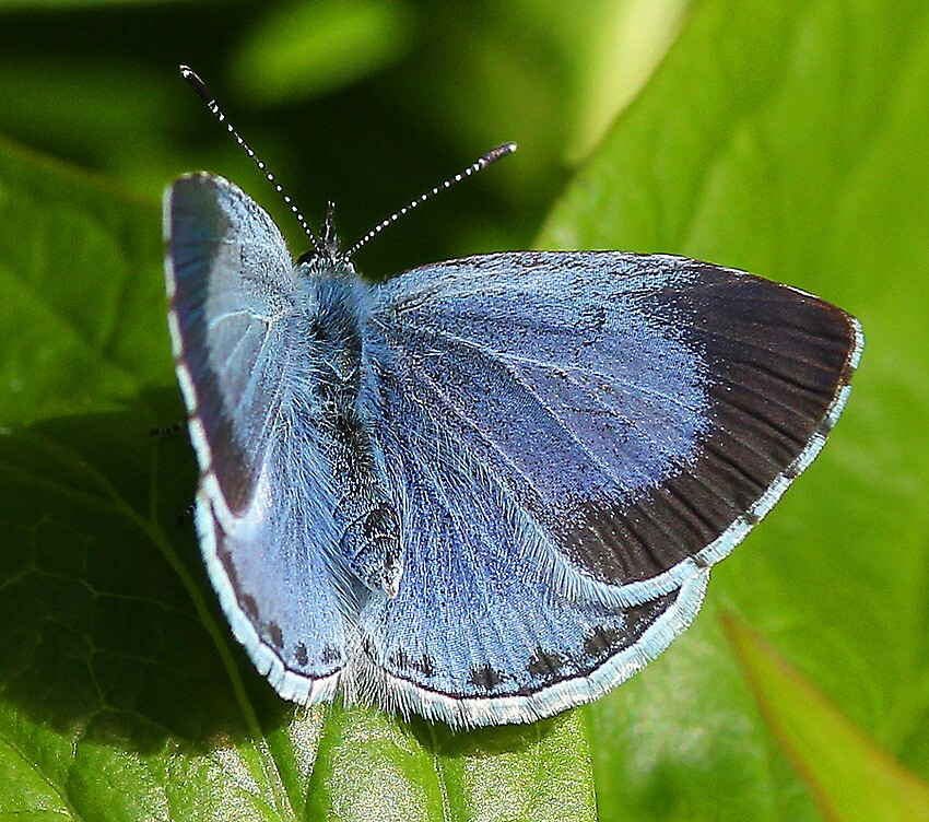 Holly Blue butterfly 11 by Rivendell7