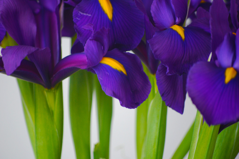 Iris #1 by peterrobinsonjr