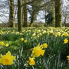 Spring Daffodils by CreativeEm
