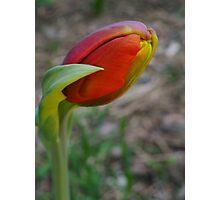Bring The Tulip Photographic Print