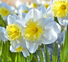 Beautiful Daffodils by Elaine  Manley