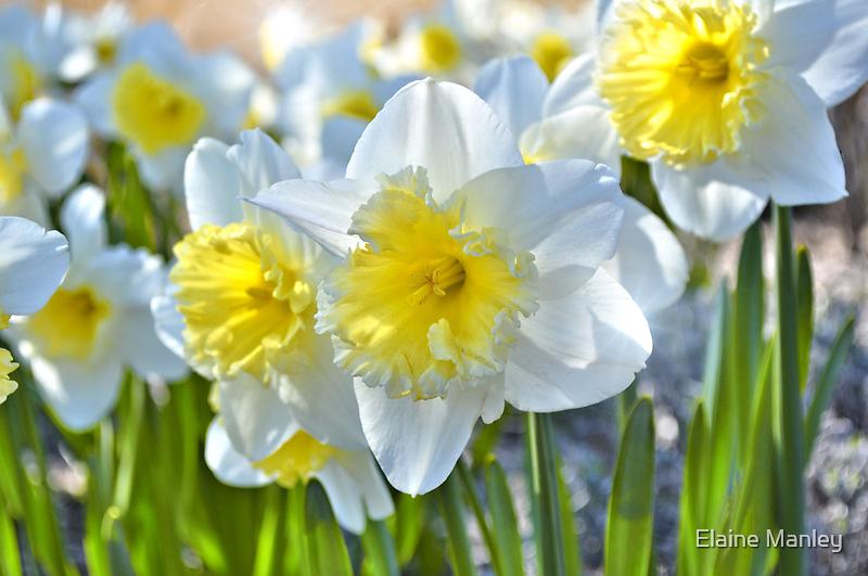 Beautiful Daffodils by Elaine  Manley