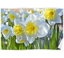 Beautiful Daffodils Poster