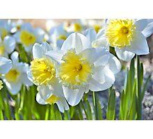 Beautiful Daffodils Photographic Print