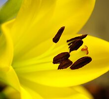 Yellow Beauty by JulieLBateson