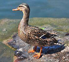 Quack Quack  by Elaine  Manley
