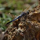 Blue Dragonfly by lib225